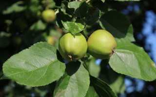 Что можно приготовить из незрелых яблок