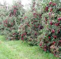 Как обрезать карликовые яблони