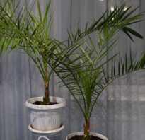 Какой горшок нужен для пальмы финиковой