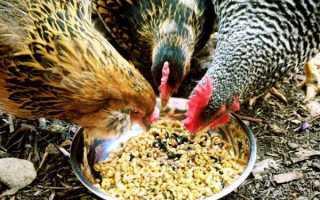 Как правильно и чем кормить кур несушек