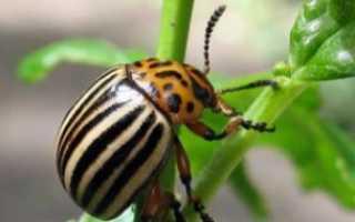 Как зимует колорадский жук
