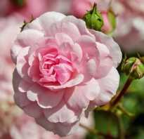 Как роза превращается в шиповник