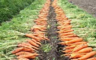 Средняя урожайность моркови с 1 га в россии
