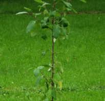 Как сажать саженцы плодовых деревьев из горшка
