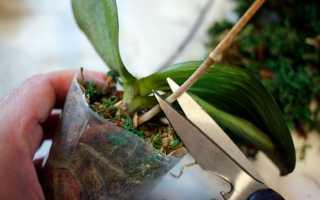 Как обрезать орхидею после цветения фаленопсис
