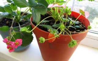 Как на балконе выращивать клубнику