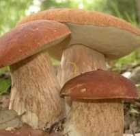 Как найти белые грибы в лесу