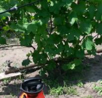 Как обработать виноград медным купоросом осенью