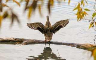Как обрезать крылья у индоуток