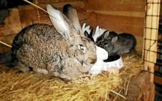 Когда можно покрывать крольчиху после окрола