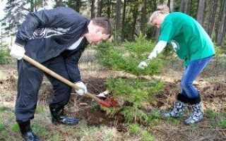 Как пересадить елку из леса на участок