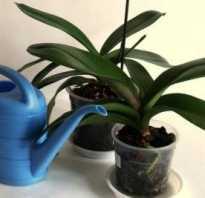 Через сколько дней после пересадки орхидею можно поливать