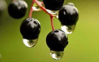 Черная ягода на дереве вяжет во рту
