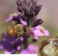 Как делают аккураевый мед
