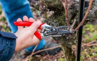 Как обрезать неукрывной виноград