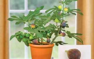 Как заставить инжир плодоносить