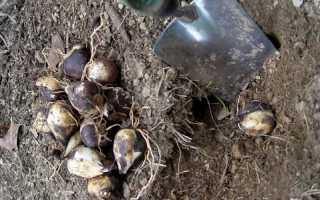 Как хранить луковицы цветов