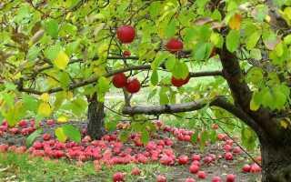 Уход и подкормка плодовых деревьев на зиму