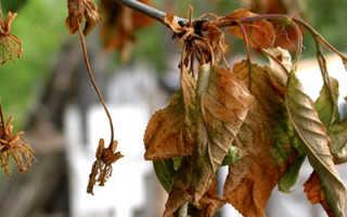 У вишни сохнут концы веток что делать