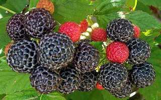 Цветок с черными ягодами похожими на ежевику как называется