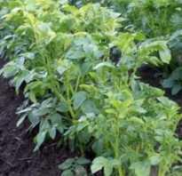 Какие овощи можно сажать после картофеля на следующий год