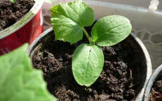 Как высаживать проклюнувшиеся семена огурцов