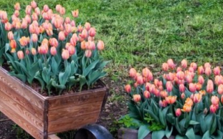 Можно ли садить тюльпаны весной в сибири