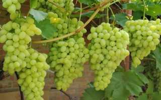Можно ли пересадить старый куст винограда на новое место