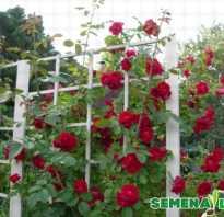 Как вырастить из семян плетистую розу