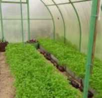 Семена горчицы как удобрение когда сажать в теплице