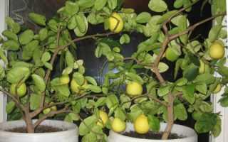 Уход за лимоном в домашних условиях зимой