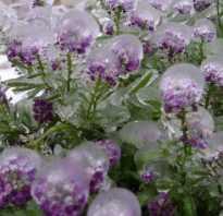 Какие цветы цветут до заморозков
