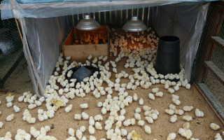С какого возраста цыплят можно выпускать на улицу