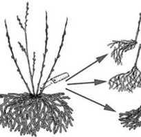 Как размножить садовую ежевику