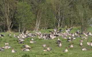 Можно ли гусей кормить горохом
