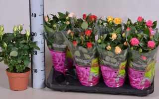 Как ухаживать за розой мини микс в домашних условиях