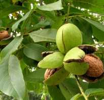 Можно ли сажать орех во дворе дома