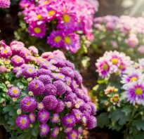 Как ускорить цветение хризантем осенью