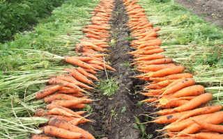 Можно ли садить морковь после лука на грядке