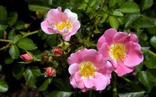 Настойка из лепестков роз на водке рецепт