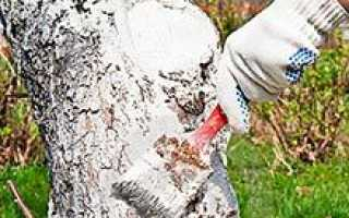 Побелка деревьев масляной краской можно