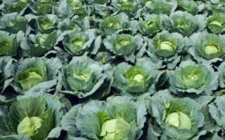Средняя урожайность капусты с 1 га в россии