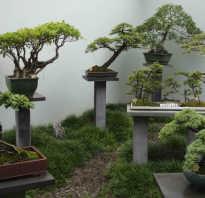 Как вырастить дерево бонсай из семян в домашних условиях