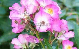Можно ли куст розы разделить