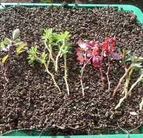 Как размножается красный барбарис