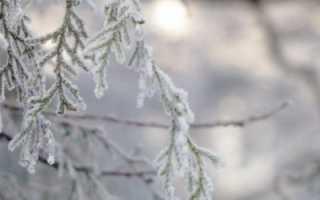 Как на зиму укрыть туи