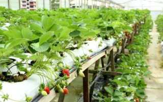 Урожайность клубники в теплице с 1 м2
