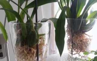 Можно ли держать орхидею в воде