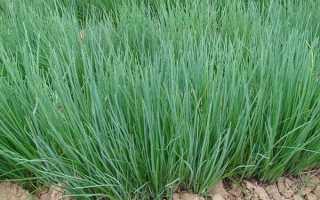 Как вырастить лук шнитт из семян