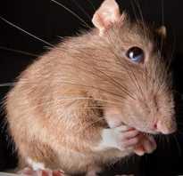 Какой запах не любят крысы
